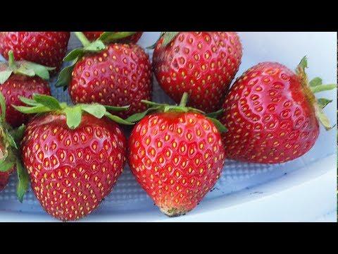 Лучшие сорта садовой земляники (клубники)