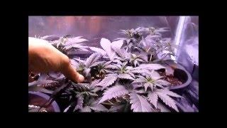 Growing autoflowers indoors