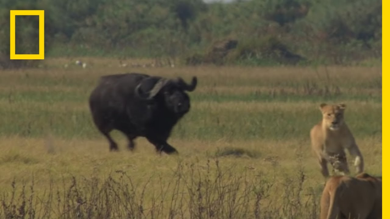 Buffalo Bull Chase - The Last Lions Deleted Scenes   National Geographic thumbnail