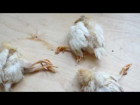 Почему цыплята падают на ноги