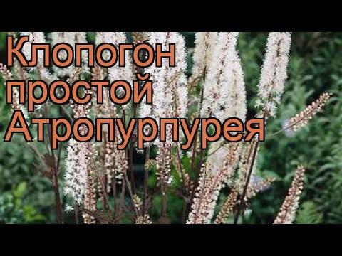 Клопогон простой Атропурпурея (atropurpurea) 🌿 обзор: как сажать, рассада клопогона Атропурпурея