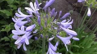 FlowerアガパンサスAgapanthus