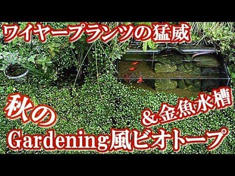 秋のメダカと金魚鉢【Gardening風ビオトープ】ワイヤープランツの猛威