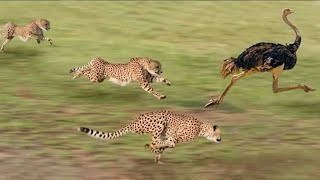 Best attacks of panther | Cheeta | Leopard | Discovery science hindi |HD| By Discovery science india