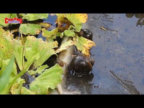 Dễ như nuôi ốc bươu đen
