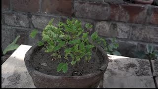 Mimosa Tree Care | Information About Mimosa Plant | Touch Me Not Plant | Mimosa Pudica (Urdu/hindi