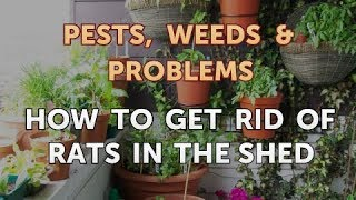How to Get Rid of Rats in the Shed