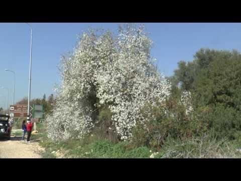 פריחה אביבית בישראל