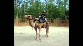 Hudson the Dromedary Camel