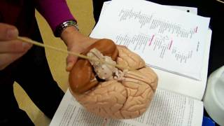 Brain model A&P 1 of 2
