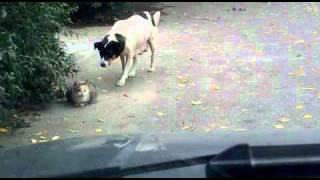 Крадущаяся собака