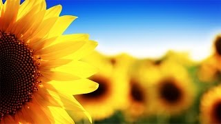 "Soft Jazz: ""Sunflowers"" (3 Hours of Soft Jazz Saxophone Music)"