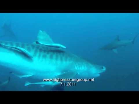 Tigerhaitauchen mit Walter Bernardis, Aliwal Shoal,Umkomaas,bei Durban,Südafrika