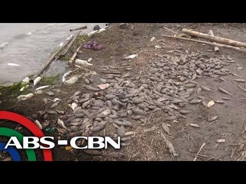 Taal Lake fish kill 'starting' with bangus, agri chief says | ANC