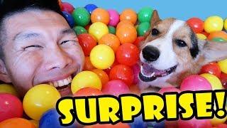 SURPRISING My CORGI Dog w/1000 BALLS || Life After College: Ep. 564 | Kholo.pk