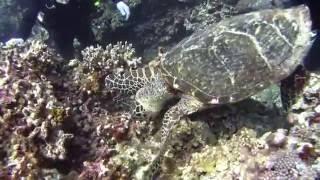 絶滅危惧種ウミガメ「タイマイ」