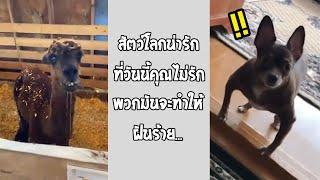 น่ารักจริงๆ น่าจะเฝ้าบ้านได้ดีมากๆ ตัวเล็กแต่ใจมันได้... #รวมคลิปฮาพากย์ไทย