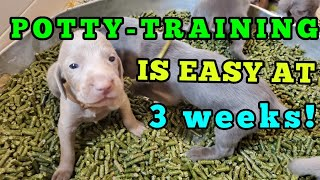 19-21 Days Old Puppies: Potty Training and Weaning [October 2020 Update]