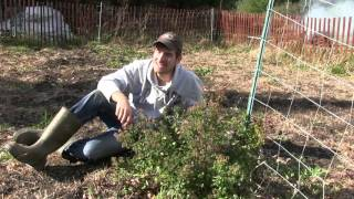 How to Save Your Very Own Oregano Seeds EASY!
