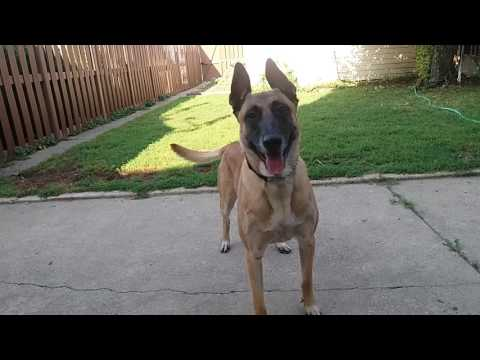 Before you get a Belgian Malinois.