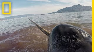 Heart Monitors on Narwhals Reveal Dangers of Human Encounters | National Geographic