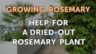 Help for a Dried-Out Rosemary Plant