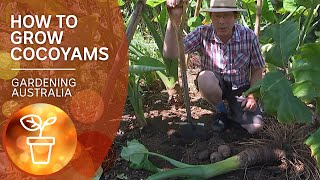 Cocoyams – grow, propagate and harvest a warm-climate alternative to spuds | Gardening Australia
