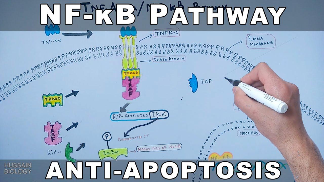 Multiple myeloma kappa light chain