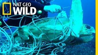 Vídeo: Tartaruga presa em rede de pesca