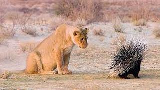 고슴도치 VS 사자 - 최고의 싸움