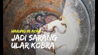 Ada 6 Ular Kobra Bersarang di Warung Mi Ayam di Klaten, Damkar Klaten Ambil Tindakan