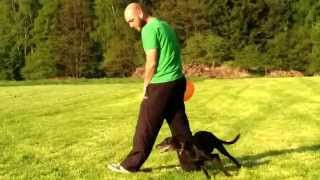 preview picture of video 'Dogfrisbee extreme distance throw with whippet'