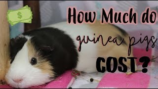 How Much Do Guinea Pigs Cost? ( Monthly & Weekly Costs)
