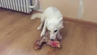 Лиса защищает добычу. Крики лисы. The fox protects the prey. Screams of a fox.