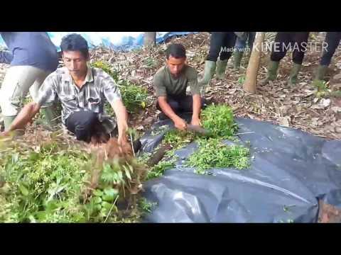 Video: Bingung Buka Lahan Tanpa Membakar, Jangan Khawatir, Untungnya Rumputnya Bisa Dijadikan Kompos, Begini Cara Membuatnya...