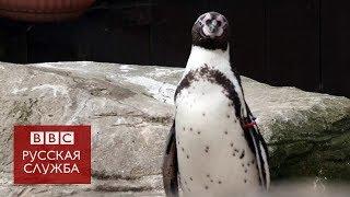 Пингвин Секвойя в поисках пары