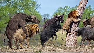Lion vs Buffalo Battle is not never | Buffalo Too Angry Destroy The Strongest Lion in African