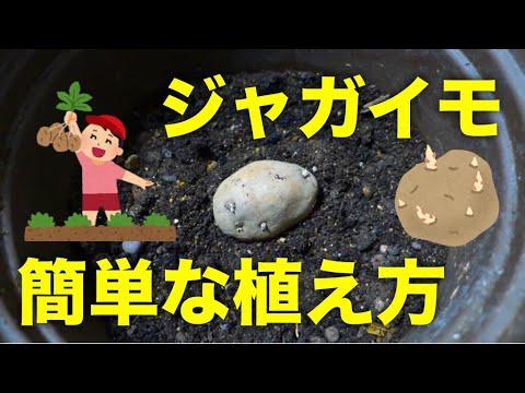 , title : 'じゃがいもの植え方!春に種芋を植え付ける簡単な方法【植木鉢プランター】