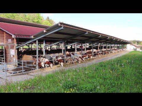 Wenn drinnen draußen ist – Kühe im Offenstall