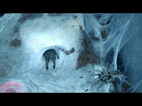 Спаривание holothele incei | Holothele incei mating