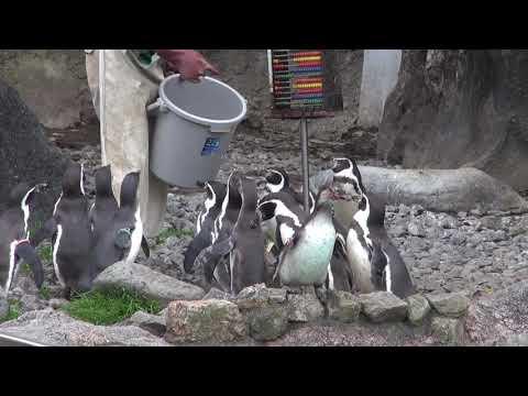 フンボルトペンギン給餌中