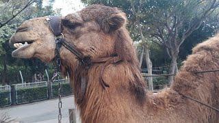 Верблюд меня облизал   Зоопарк Кирьят Моцкин