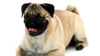 Pug   Dogs 101