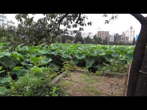 Лотосовый мир парка Уэно.Токио /Lotus.Pa