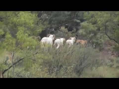 Texas Dall Sisco D Ranch