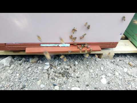 Gaura de vierme giardia