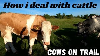 Cows Bull running on footpath how i deal with curious aggressive Mad farm cattle avoid being killed.