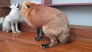 Female Foxes Screaming!
