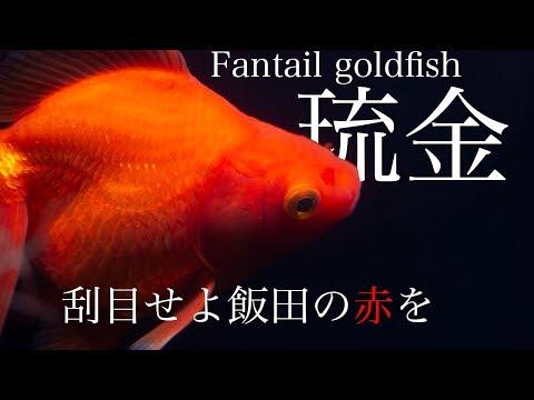 【飯田産琉金】 極上の赤 生体導入 Fantail goldfish 金魚 を イソジンでトリートメント 【アクアリウム】