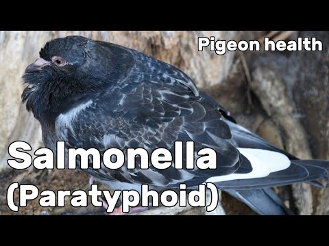 , title : 'Salmonella or Paratyphoid in Pigeons - Pigeon Health Episode #7